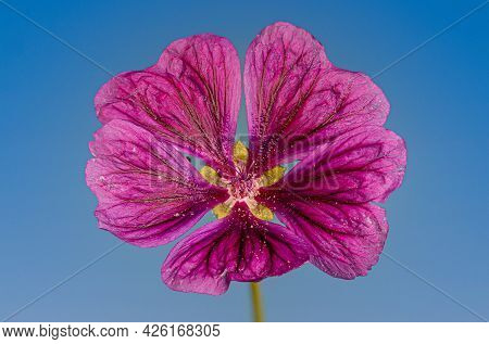 Close-up Image Of An Isolated Pink Common Mallow Flower