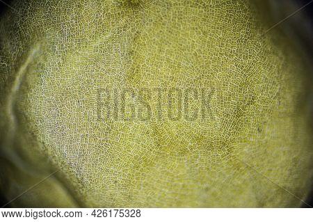 Far Eastern Kelp Macro Close Up Under The Light Microscope, Edible Seaweed