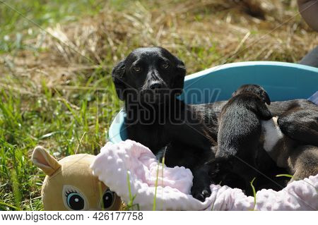 Black Dog And Puppys. A Small Black Dog Lies With His Puppies. Home Animal, Puppy Care. Cute Animals