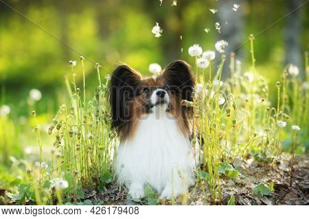 Beautiful Papillon Dog In The Grass And Faded Coltsfoot Flowers In Summer. Happy Continental Toy Out
