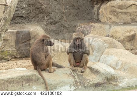 The Monkey Looks Thoughtfully Into The Distance. The Male Baboon Sits And Looks Into The Distance. S