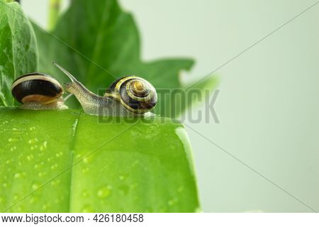 Two Grape Snails On A Green Leaf. Two, Large Garden Snails In The Garden On Green Leaves, After The