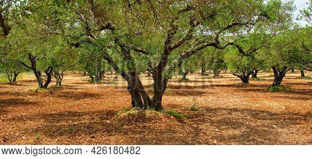 Olive trees (Olea europaea) grove in Crete, Greece for olive oil production. Horizontal camera pan