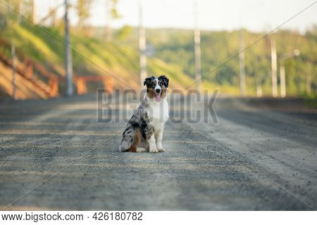 Portrait Of An Happy Blue Merle Australian Shepherd Dog Sitting On The Road At Sunset In Summer.