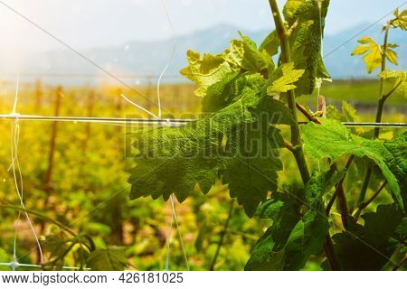 Wineyard with grape rows. Crete island, Greece
