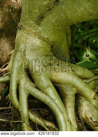 Intricately Intertwined Roots Of A Tree In The Forest