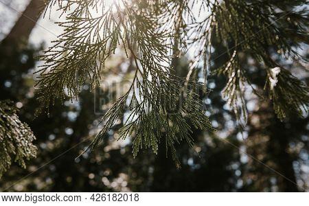 Whitebark pine in Yosemite National Park, USA