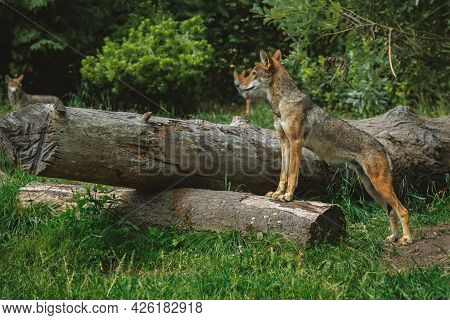 Red Wolf Stands On A Log Looking Outward At Other Wolves.