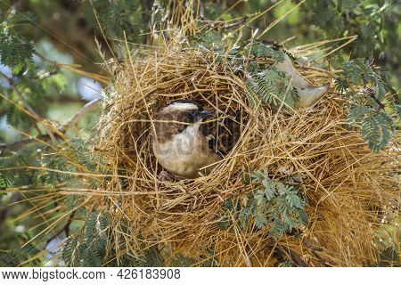 White Browed Sparrow Weaver Building A Nest In Kgalagadi Transfrontier Park, South Africa; Specie Pl