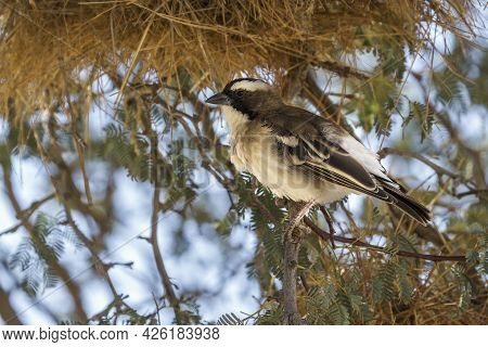 White Browed Sparrow Weaver Standing In Nest Area In Kgalagadi Transfrontier Park, South Africa; Spe