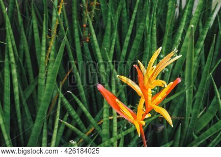 Tropical Flower Heliconia. Tropical Leaves Colorful Flower On Dark Tropical Foliage Nature Backgroun