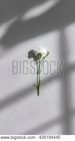 White carnation on a gray wall