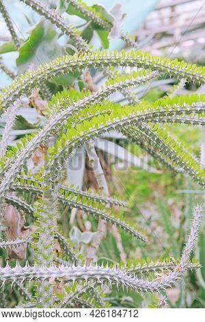 Alluaudia Procera, Closeup. Cacti Grow In A Greenhouse. Summer Landscape.