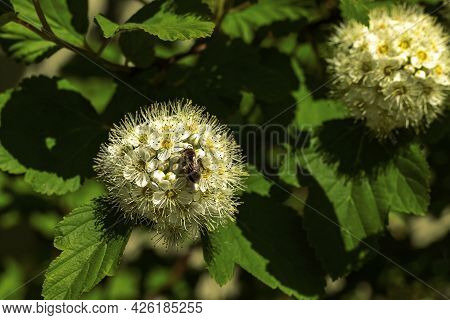 Honey Bee Sitting, Collecting Nectar And Pollinating Hawthorn White Flowers On Natural Green Leaves