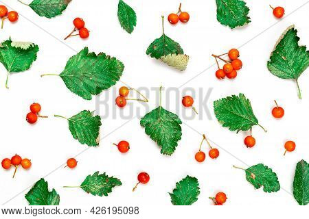 Autumn Flat Lay. Nature Pattern: Dry Leaves, Green Leafs, Orange Fruits Rowans Isolated On White Bac