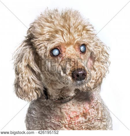 Head shot of an old and blindness poodle dog isolated on white