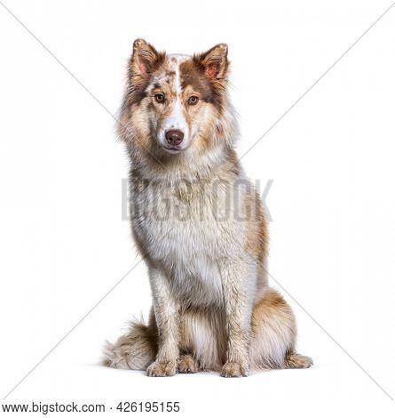 Aussie Siberian. is a mixed Breed Dogs - Australian Shepherd with Siberian Husky
