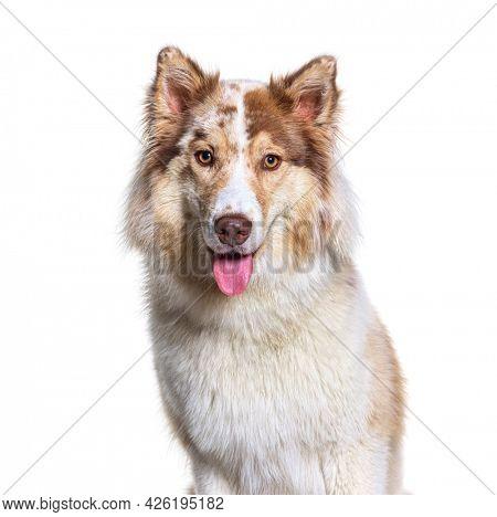 Head shot of a Aussie Siberian. is a mixed Breed Dogs - Australian Shepherd with Siberian Husky