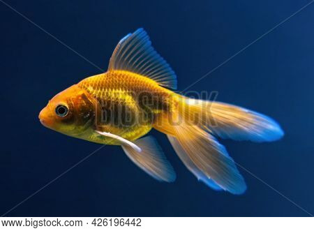 The Veiltail - Goldfish With Long, Flowing Double Tail And High Sail-like Dorsal Fin. Goldfish On A
