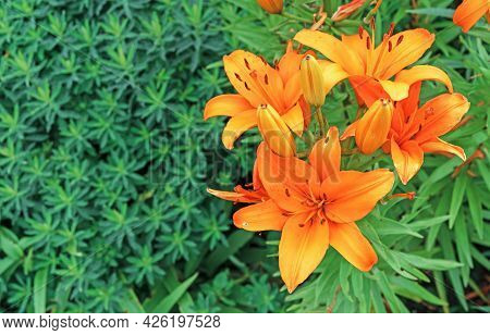Blooming Orange Lily Or Oriental Stargazer Lily Against A Background Of Green Foliage