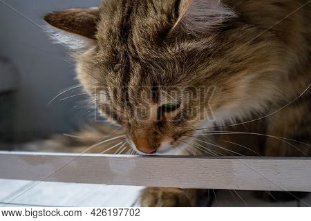 A Large Ginger Cat Is Sniffing A White Wooden Box. The Cat Plays In The Sun