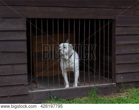 Central Asian Shepherd Dog In A Closed Cage. Alabay Dog Behind Bars. Selective Focus