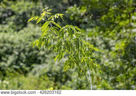 A Branch With Bright Green Leaves Of Ash-leaved Maple