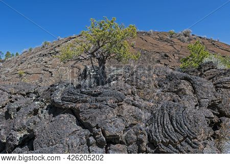 Juniper Pine Growing In The Lava In El Malpais National Monument In New Mexico