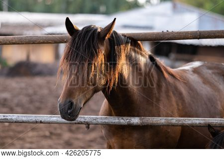 Brown Young Stallions In The Stable. Horses Stand In The Paddock At The Sunset Of The Summer Sun.