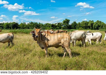 A Herd Of Cows Grazing In The Meadow In The Blue Sky.