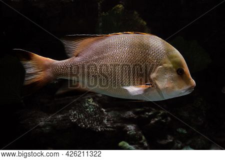 Snapper Fish Swims On The Bottom Of The Sea. Side View.