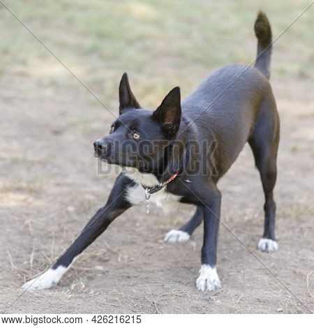1-year-old Black And White Female Mcnab Puppy Ready To Fetch Ball. Off-leash Dog Park In Northern Ca