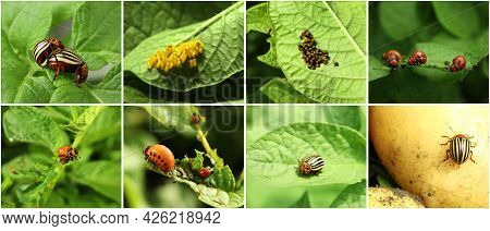 Collage With Different Photos Of Colorado Potato Beetles On Green Leaves. Banner Design