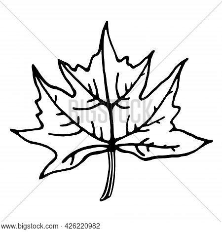Maple Leaf Vector Icon. Isolated Illustration On A White Background. Plant Outline. Line Art. Botani