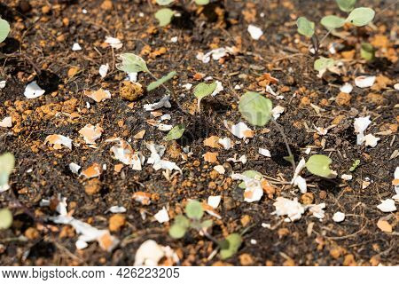 Closeup Of Crushed Egg Shell Scatted Onto Soil As Organic Fertilizers For Baby Vegetables