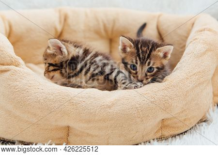 Closee-up Little Bengal Kittens On The Cat's Pillow