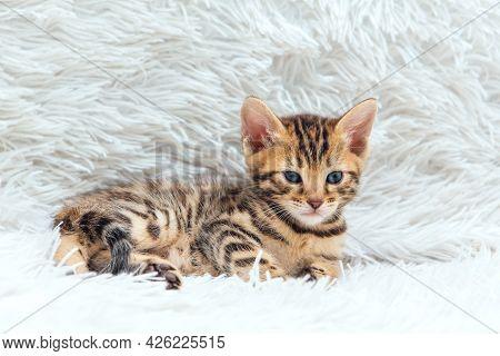 Little Bengal Kitten On The White Fury Blanket