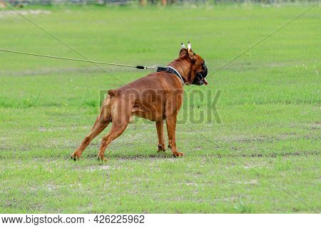 Powerful Male German Boxer Dog Breed Stands On A Green Lawn. Fawn Boxer, Cropped And Docked. Service