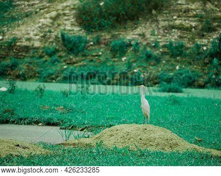 Heron Bird Standing At Natural Green Field Around Lake Side.