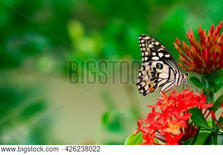 Colourful Butterfly Sucking Nectar Of Spike Flowers With Fresh Green Background.