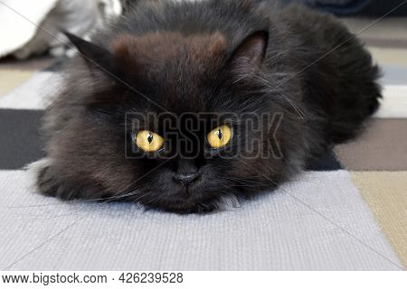 Persian Cat Laying On The Rug Or Carpet In The Living Room Of A House.