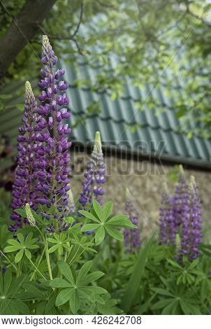 Violet And Purple Lupine Flowers