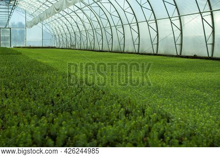 A Greenhouse For Growing Plants And Trees. A Modern Large Greenhouse With Spruce And Pine Seedlings.