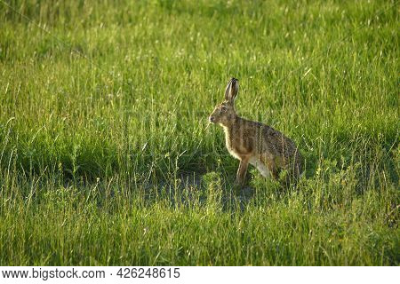 Large Hare On A Green Meadow In The Summer Looking For Dandelions To Eat