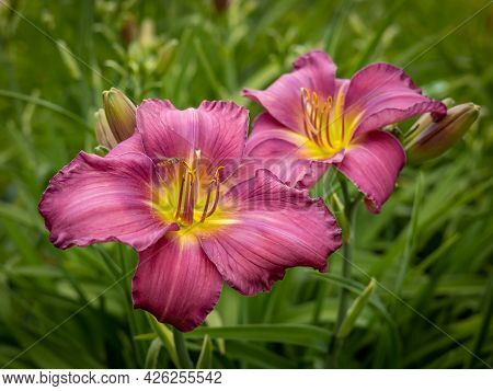 A Closeup On A Daylilly (hemerocallis Sp) Pink Flower, One Of A  Famous Collection Of Day Lilly Spec