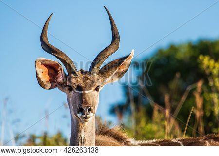 Portrait Of A Male Greater Kudu Buck Tragelaphus Strepsiceros, Ithala Game Reserve, Kwazulu-natal, S