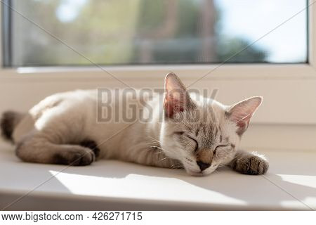 Cute Little Kitten Sleeping Near The Window In Living Room. Color-point Cat Without Tail Mekong Bobt