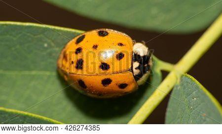 Orange Ladybug With Black Spots On Green Leaves, Macro Photography, Selective Focus.