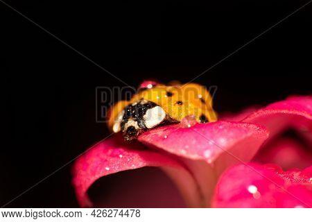 Orange Ladybug With Black Spots On Dewy Pink Flowers, Macro Photography, Selective Focus.