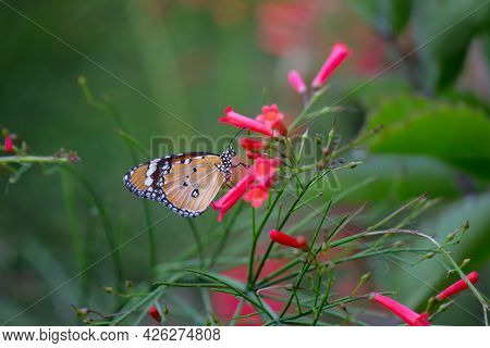 Danaus Chrysippus, Also Known As The Plain Tiger, African Queen, Or African Monarch, Danainae,\n Is